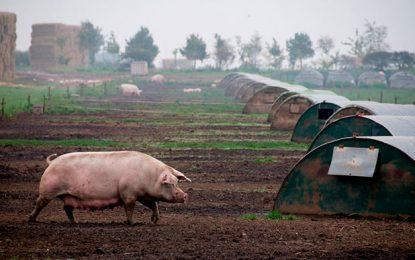 Encuentran esclavos humanos colombianos en una granja de cerdos de España